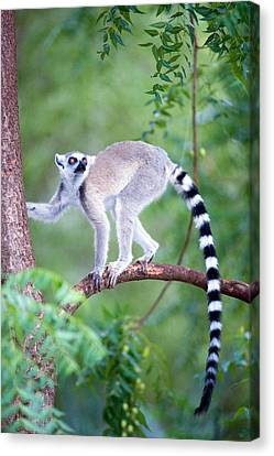Ring-tailed Lemur Lemur Catta Climbing Canvas Print by Panoramic Images
