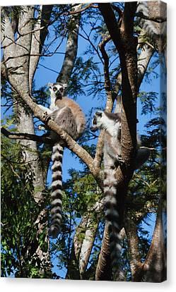Ring Tailed Lemur (lemur Catta Canvas Print by Keren Su