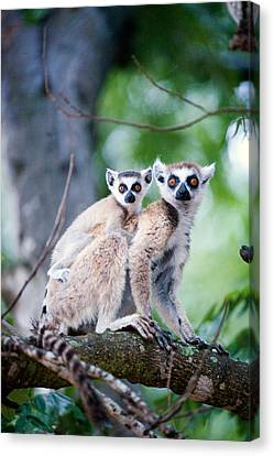 Ring-tailed Lemur Lemur Catta Canvas Print by Panoramic Images