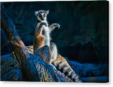 Ring-tailed Lemur Canvas Print by Tim Stanley