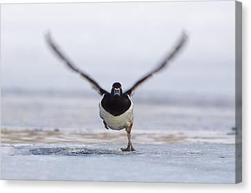 Ringneck Duck Running Take Off  Canvas Print by Tom Reichner