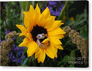 Rings On A Sunflower Canvas Print by Mark McReynolds