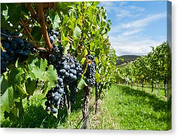 Ripe Grapes Right Before Harvest In The Summer Sun Canvas Print by Ulrich Schade