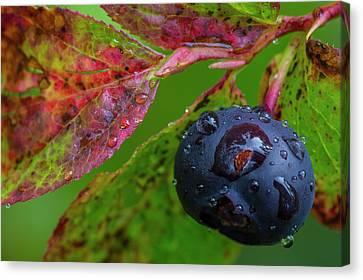 Ripe Huckleberries In A Light Rain Canvas Print by Chuck Haney