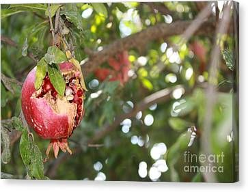 Ripe Pomegranate Canvas Print by Julie Alison