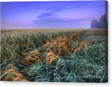 Ripening Barley At Dawn Canvas Print by Dan Jurak