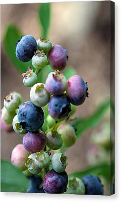 Ripening Blueberries Canvas Print by John Haldane