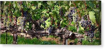 Ripening Grapes Canvas Print by Carol Groenen