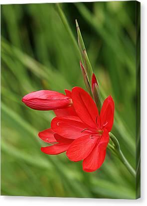 Crimson Lilies Canvas Print - Ritzy Red by Gill Billington