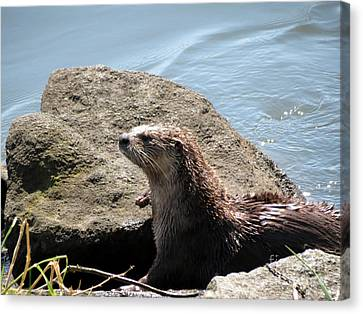 River Otter Sunning By The Lake Canvas Print