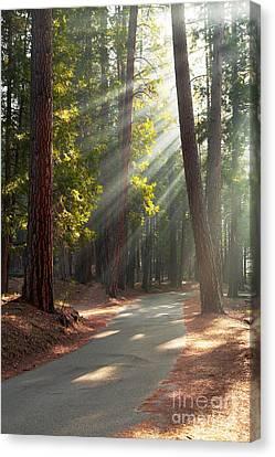Road Through Mariposa Grove Canvas Print by Jane Rix