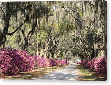 Canvas Print featuring the photograph Road With Azaleas And Live Oaks by Bradford Martin