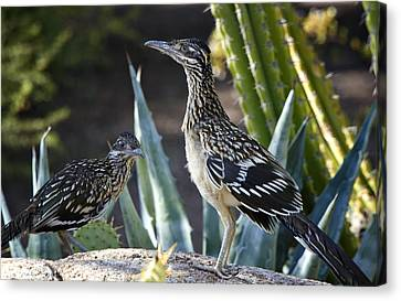 Roadrunners At Play  Canvas Print by Saija  Lehtonen
