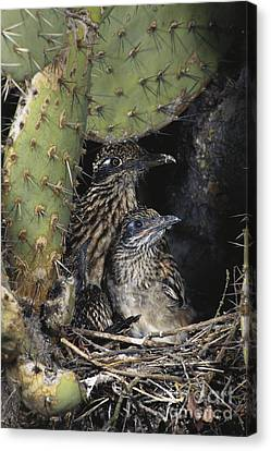 Roadrunners In Nest Canvas Print by Anthony Mercieca