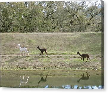 Roaming Alpacas Canvas Print