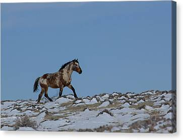 Roan In Snow Canvas Print