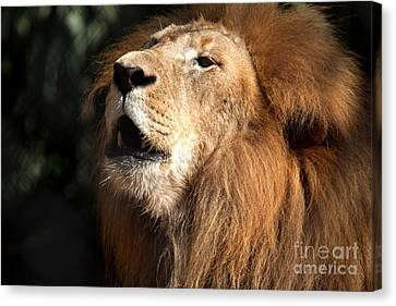Canvas Print featuring the photograph Roar - African Lion by Meg Rousher