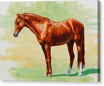 Roasting Chestnut - Morgan Horse Canvas Print by Crista Forest