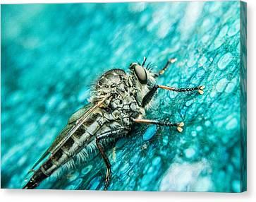 Robber Fly On Blue Ceraminc Plate 1 Canvas Print by Douglas Barnett