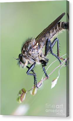 Robber Fly Asilinae Close Up Canvas Print