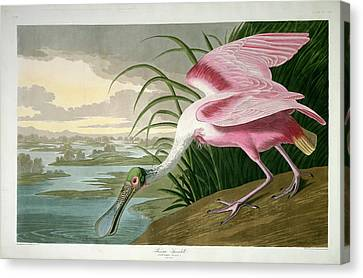 Robert Havell After John James Audubon, Roseate Spoonbill Canvas Print by Quint Lox