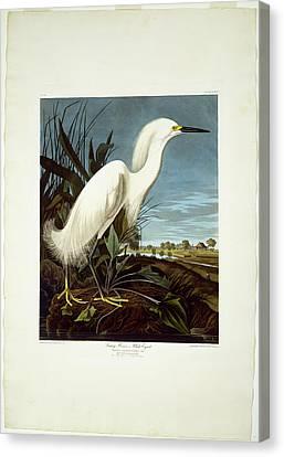 Robert Havell After John James Audubon, Snowy Heron Canvas Print by Litz Collection