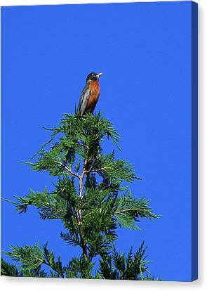 Robin Christmas Tree Topper Canvas Print by Bill Swartwout