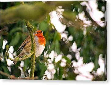 Robin  Canvas Print by Dave Woodbridge