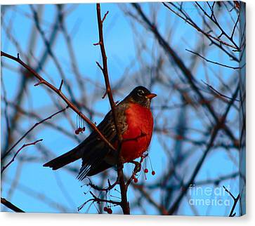 Canvas Print featuring the photograph Robin by Gena Weiser