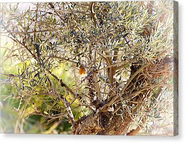 Robin Perched On Olive Tree Canvas Print by Goyo Ambrosio