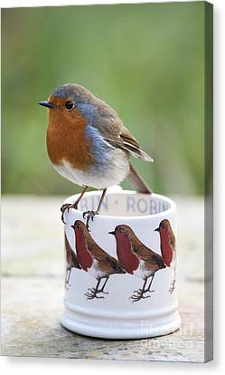 Feeding Canvas Print - Robin Redbreast by Tim Gainey