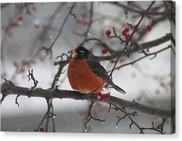 Robin Winter Canvas Print by Alicia Knust