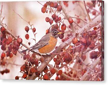 Robin With Red Berries Canvas Print by Daphne Sampson