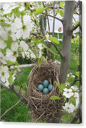 Canvas Print featuring the photograph Robins Egg Nest by Margaret Newcomb