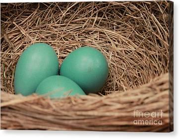 Robins Three Blue Eggs Canvas Print