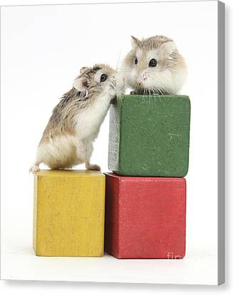 House Pet Canvas Print - Roborovski Hamsters by Mark Taylor