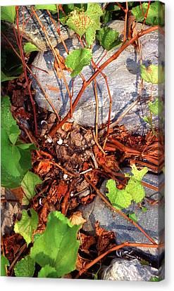 Rock Grape Vine Canvas Print by Scott Bauer/us Department Of Agriculture