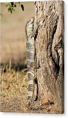 Rock Monitor Lizard Climbing A Tree Canvas Print