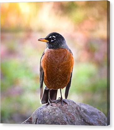 Rock-n-robin Canvas Print by Annette Hugen