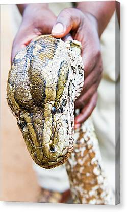 Rock Python Recovered From Poachers Canvas Print by Peter Chadwick