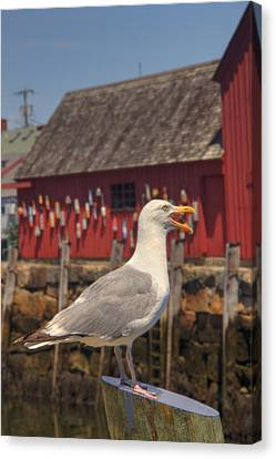 Rockport Harbor Seagull Canvas Print by Joann Vitali