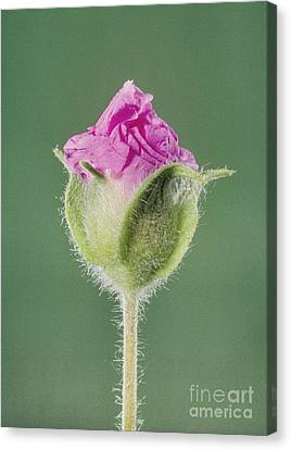 Rockrose Flowerbud Canvas Print by Claude Nuridsany and Marie Perennou