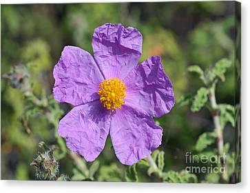 Rockrose Flower Canvas Print by George Atsametakis