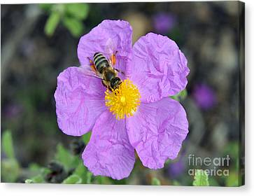 Rockrose Flower With Bee Canvas Print by George Atsametakis
