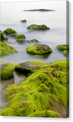Rocks Or Boulders Covered With Green Seaweed Bading In Misty Sea  Canvas Print by Dirk Ercken