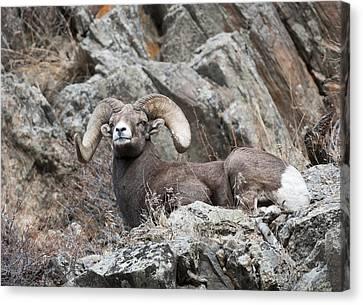 Rocky Mountain Big Horn Ram On Watch II Canvas Print by Gary Langley