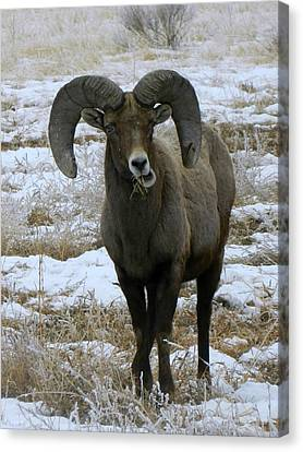 Rocky Mountain Big Horn Sheep 2 Canvas Print by Michelle Frizzell-Thompson
