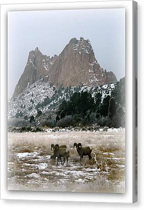 Rocky Mountain Big Horn Sheep Canvas Print by Michelle Frizzell-Thompson
