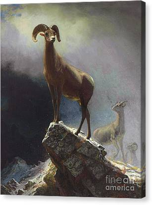 Rocky Mountain Big Horn Sheep Canvas Print by Pg Reproductions