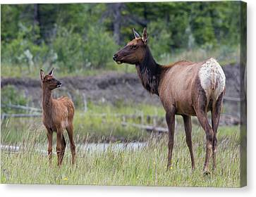 Rocky Mountain Cow Elk With Calf Canvas Print